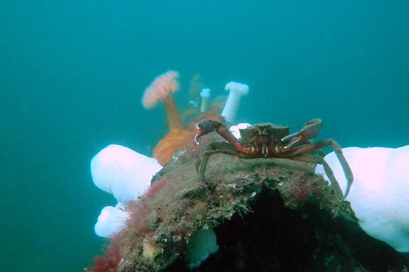 Guard crab.